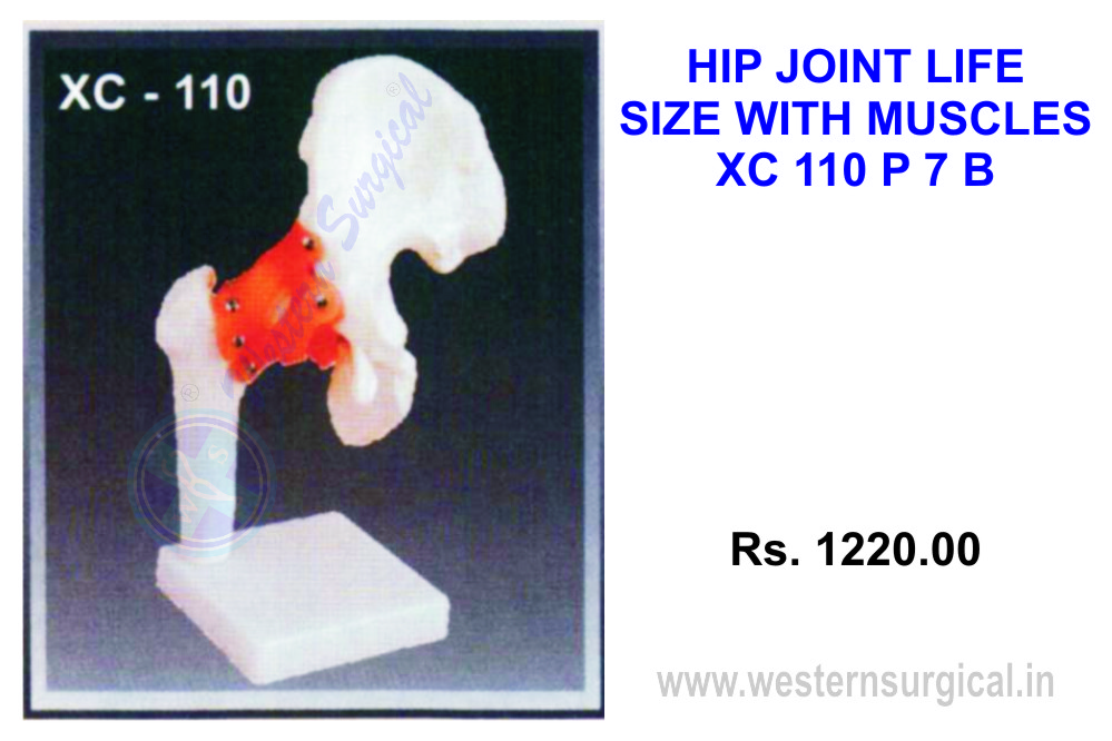 Life-size Hip joint