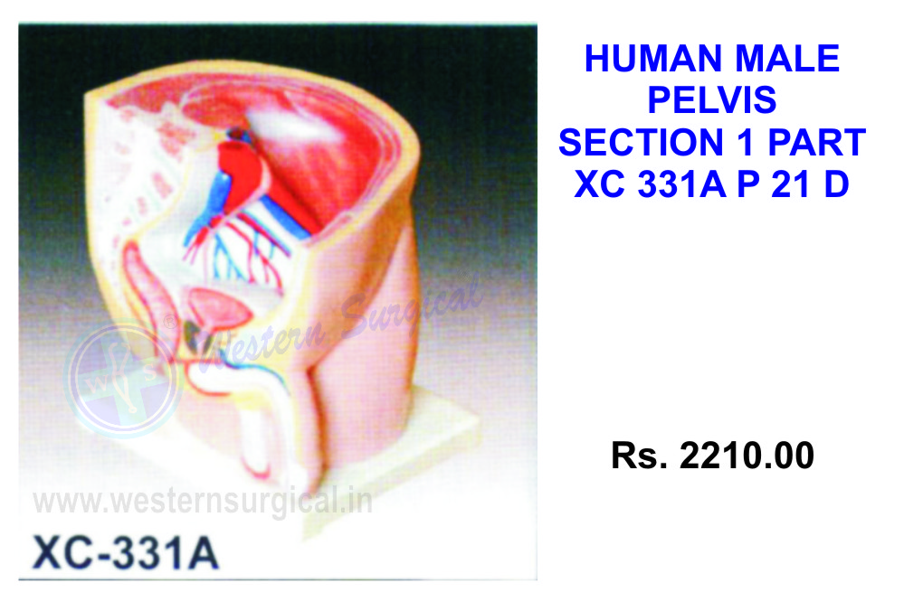 Human male pelvis section